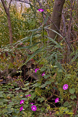 Morning Glory at Mill Creek Marsh in Secaucus NJ (Meadowlands) (takegoro) Tags: creek marsh hot wild flowers pink nature glory wildlife morning flowers plants meadowlands mill nj purple pink fuchsia secaucus