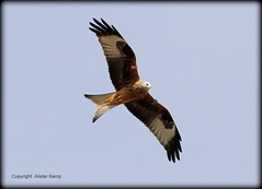 Red Kite - Scottish Highlands 31/3/13 (Ally.Kemp) Tags: red kite scotland highlands scottish rossshire maryburgh
