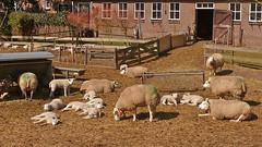 We zijn er weer / Here we are again (andzwe) Tags: copyright sun holland netherlands dutch spring farm  nederland lamb hay lente zon schapen boerderij opendoor lammetjes schaap hooi opendeur panasoniclumixdmcfz50 andzwe andzwe schapenenlammetjesbuiten sheepandlambsoutside personableexpression