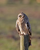SEO (Paul West ( pwest.me )) Tags: barn little short owl barnowl shorty eared shortearedowl thewonderfulworldofbirds littelowl allofnatureswildlifelevel1