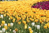 """Yello and Red Flowers - Spring Time • <a style=""""font-size:0.8em;"""" href=""""https://www.flickr.com/photos/7877146@N06/8621321011/"""" target=""""_blank"""">View on Flickr</a>"""