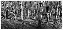 Beech (ShinyPhotoScotland) Tags: trees light blackandwhite panorama sunlight art nature lines weather composite manipulated lens landscape photography scotland flora shadows emotion many space places calm equipment numbers zen complexity moment pentacon stark toned contrasts portpatrick tranquil beech contentment lightanddark existentialist dumfriesandgalloway goldenlight hugin digikam shapeandform rawconversion enfuse patternsoflight pentacon30mm darktable photivo