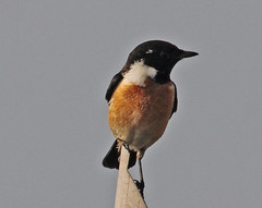 Th13_05303a (jerryoldenettel) Tags: bird thailand passeriformes commonstonechat saxicola stonechat passerine saxicolatorquatus 2013 muscicapidae bangtaboon bangtaboonmarshes