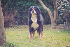 P'tit bout d'langue (N'Grid) Tags: dog chien animal bernesemountaindog bouvier boutchou bouvierbernois bernesemountain