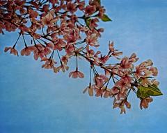 SIgns of Spring (DASEye) Tags: flowers flower floral virginia nikon blossoms textures va cherryblossoms virginiabeach dayseye davidadamson flickrsawesomeblossoms awesomeblossoms creativephotocafe