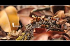 Borneon Wasp (Ringgo Gomez) Tags: 1001nights nikon105mm macroextreme macrolicious topseven malaysianphotographers elitephotography macromarvels macrolife nikond700 sarawakborneo thebestshot corcordians 1001nightsmagiccity