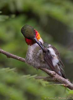 Ruby-throated Hummingbird (Archilochus colubris) High Springs, Florida