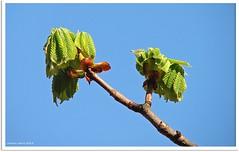 Es wurde Zeit!  - It was about time! (Jorbasa) Tags: sky plant tree leave germany deutschland hessen pflanze himmel chestnut bltter baum kastanie wetterau jorbasa