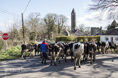 Cows day out in Timahoe (Ciara Drennan) Tags: road ireland cows agriculture timahoe roundtower herding laois irishcountryside farner farminglife