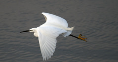 Egret On The Wing (karlentwm) Tags: bird nature wildlife egret littleegret coth specanimal flickraward flyingegret coth5 sunrays5