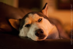 Almost Asleep (Images by April) Tags: dog canon 50mm husky f14 blueeyes siberianhusky 5d sleepydog snowdog markii