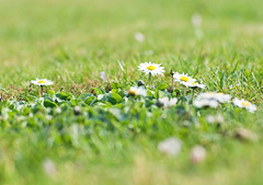 Saved the daisies (tad2106 - Trudie Davidson Photography) Tags: flowers grass daisies garden weeds lawn daisy day115 day115365 3652013 2013yip 365the2013edition 25apr13