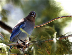 I'm Waiting!     Stellar Jay Yosemite National Park Explore (Kent Freeman) Tags: park jay pentax 300mm stellar national yosemite da k5