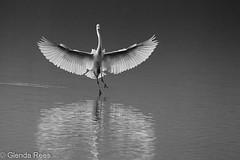 Ballerina (NZSam) Tags: heron egret egrettaalba whiteheron littlestories kotuku picswithsoul