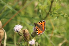 Small Tortoiseshell (Tony Howsham) Tags: insect butterfly carltonmarshes carlton marshes canon eos 70d sigma 18250