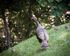 Keep Up, Kids - It's Just a Little Hill... (lclower19) Tags: turkey chick three hen hill wild