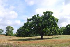 One Tree One Year - August 2016 (mpw1421) Tags: nikon d60 oaktree oak onetreeoneyear summer august 2016 field farming farm crop borage harvest sky clouds blue green outdoors unlimitedphotos