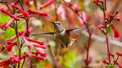 Allen's Hummingbird [Explored] (Bob Gunderson) Tags: allenshummingbird birds botanicalgardens california canoneos7dmarkii goldengatepark hummingbirds northerncalifornia sanfrancisco selasphorussasin