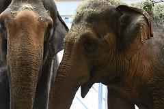 elephas maximus (Joachim S. Mller) Tags: indischerelephant indischerelefant asiatischerelefant elephasmaximus elephas asianelephant elefant elephant sugetier mammal tier zoo animal zookarlsruhe karlsruhe badenwrttemberg deutschland germany
