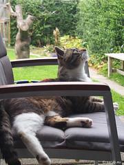 Anniversary - Bastian in his garden (2015) (Finn Frode (DK)) Tags: cats watch verandah bastian mixedbreed olympus omdem5 denmark animal pet cat outdoor