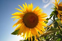 Sunflower (rubenjesmiatka) Tags: swiss geneva geneve genf collongebellerive sunflowerseed