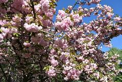 Japanese cherry   DSC_1846 (Me now0) Tags: japanesecherry park europe nikond5300 basiclens 1855mmf3556 spring   5300
