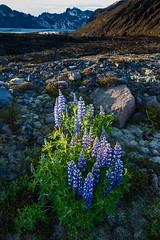 Lupines in the Moraine (Kirk Lougheed) Tags: iceland icelandic skaftafellsjokull skaftafellsjkull svinafellsjokull svinafellsjkull flower glacier landscape lupine moraine outdoor
