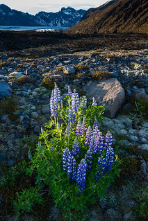 Lupines in the Moraine