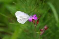 Tintenfleck Weißling (Aah-Yeah) Tags: tintenfleck weisling weissling leptidea sinupis reali reissinger schmetterling butterfly tagfalter marquartstein achental chiemgau bayern