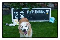 Nick. 15th Birthday portrait. (Eline Lyng) Tags: outdoor garden toys blackboard dog pet animal canine golden retriever goldenretriever leica leicam240p summilux50mmf14asph 50mm portrait birthday bokeh littledoglaughedstories