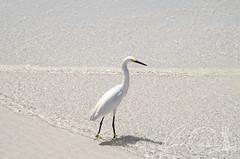 Wader (IRick Photography) Tags: bird birds beach sand water ocean wildlife nature natural wave waves fish fishing wader wade wading beak wing wings siesta key
