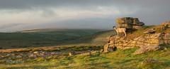 Well Stocked (http://www.richardfoxphotography.com) Tags: pilltor sheep sunrise dartmoor moor moorland hill fog hillfog mist misty