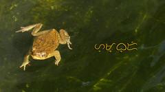 (A. K. Hombre) Tags: frog