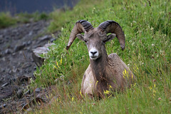 Cadomin bighorn (Moffat Road) Tags: bighornsheep wildlife cadomin alberta grass sheep canada ab luscar horns