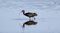 Glossy Ibis (NickWakeling) Tags: glossyibis strumpshawfen rspb norfolk nature canon60d sigma150600mmf563dgoshsmcontemporary birds wildlife waders