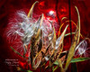 Butterfly Weed seed pod from my garden. (Nancy Harris) Tags: butterflyweed seedpod red garden nancyharris