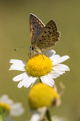 Petit plaisir (regisfiacre) Tags: papillon butterfly schmetterling insecte insect bugs macro canon 100mm nature prairie meadow france moselle green vert cuivr fuligineux lycaena tityrus