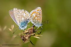 Common Blues (ABPhotosUK) Tags: animals butterflies canon commonblue dartmoor devon ef100400mmisii ef25mmextensiontube eos7dmarkii incopula invertebrates lepidoptera lycaenidae macro nocrop polyommatusicarus wildlife