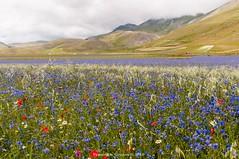 Castelluccio di Norcia (fcentur71) Tags: norcia umbria italia it campi fioriti