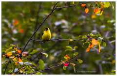 chardonneret , Goldfinch , (beluga 7) Tags: chardonneret goldfinch canon gatineau outaouais bird birding ornithologie 150600mm