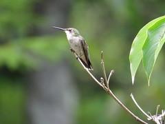 Hummingbird  IMG_7846 (PRS North Star) Tags: birds backyardbirds hummingbirds parkerdamstatepark