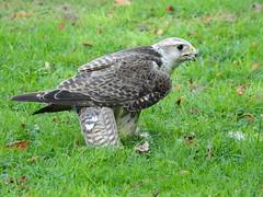 Sakerfalke (Yoma29) Tags: raubvgel greifvgel birdsofprey geier gnsegeier birds vgelnatur