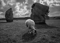 Avebury circle (1 of 1) (Robbiegriffy) Tags: sheep avebury neolithic henge stones wlitshire monument stonecircle malborough sarson sarsen megalith