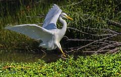 8:27am, lagoon creek - an intermediate egret #1 (Fat Burns ☮) Tags: intermediateegret ardeaintermedia wader waterbird bird australianbird fauna australianfauna nikond750 lagooncreek barcaldine sigma150600mmf563dgoshsmsports sigmatc140114xteleconverternik outback outdoors nature
