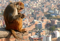 King of the City (Eye of Brice Retailleau) Tags: angle animal animaladdiction animals colourful colours composition countryside details earth extrieur fantasticwildlife fauna nature outdoor scenic travel urban urbanlife streetphotography monkey temple asia nepal kathmandu landscape cityscape citylife