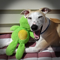 Happy Smile (DiamondBonz) Tags: spanky dog whippet hound pet froggie smile happy