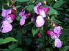 Wunderschön (ohaoha) Tags: blume wildblume fiori flores fleur flower lila