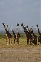 10076043 (wolfgangkaehler) Tags: 2016africa african eastafrica eastafrican kenya kenyan amboseli amboselikenya amboselinatlparkkenya amboselinationalpark wildlife mammal giraffe giraffes giraffacamelopardalistippelskirchi herd tower group