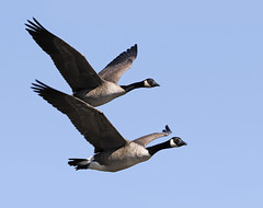 Canada Geese (Mawrter) Tags: carnegielake canon canadageese canadagoose goose geese flight flying fly motion action blue sky bird birds twoanimals two pair couple wing wings forward onthemove nature wild wildlife princeton lake lakecarnegie nj newjersey specanimal