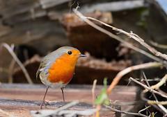 Rougegorge Familier   (Erithacus Rubecula) - European Robin (Bruno ArtPhoto) Tags: bird red rouge gorge nature nikon tamron d7100 robin rougegorge